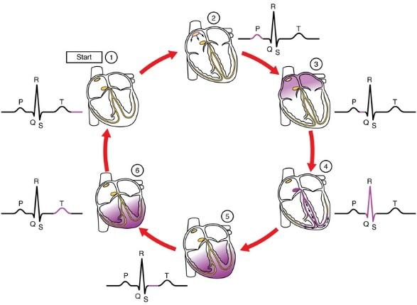 ecg-cycle.jpg